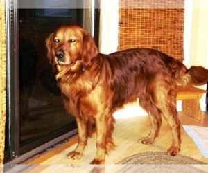 Main photo of Golden Retriever Dog Breeder near LEON, KS, USA