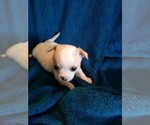 Chihuahua Breeder in ROMULUS, MI, USA