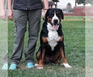 Greater Swiss Mountain Dog Dog Breeder near Bucharest, Bucuresti, Romainia