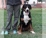 Greater Swiss Mountain Dog Breeder in Bucharest, RO.10, Romainia