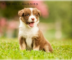 Australian Shepherd Breeder in Franklinville, NC, USA