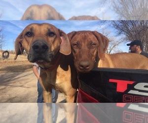 Rhodesian Ridgeback Dog Breeder near LEFORS, TX, USA