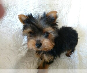 Main photo of Yorkshire Terrier Dog Breeder near DOUGLAS, GA, USA