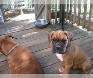 Boxer Breeder in BLAIRSVILLE, GA, USA