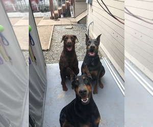 Main photo of Doberman Pinscher Dog Breeder near SAN JOSE, CA, USA