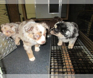 Main photo of Australian Shepherd Dog Breeder near AUBURN, IN, USA