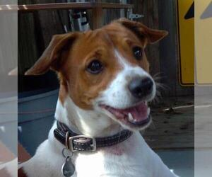 Jack Russell Terrier Dog Breeder near WATERFORD, CT, USA