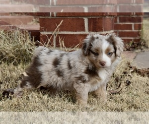 Miniature Australian Shepherd Dog Breeder in WICHITA FALLS,  USA