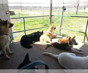 German Shepherd Dog Breeder in MILLSAP, TX