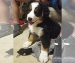 Bernese Mountain Dog Breeder in GOODLETTSVILLE, TN, USA