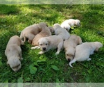 Golden Retriever Breeder in MIDDLEBURG, VA, USA