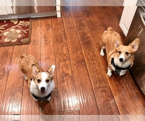 Pembroke Welsh Corgi Dog Breeder in SANTEE,  USA