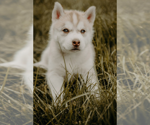 Main photo of Siberian Husky Dog Breeder near HENNIKER, NH, USA