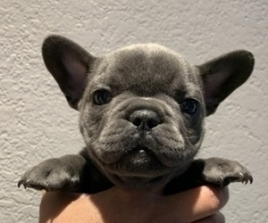 French Bulldog Dog Breeder in SAN DIEGO,  USA