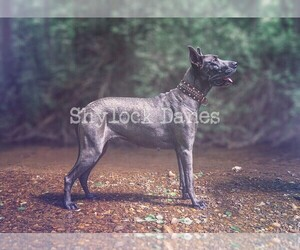 Main photo of Great Dane Dog Breeder near CAMBY, IN, USA