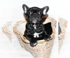 French Bulldog Breeder in WHITE OAK, TX