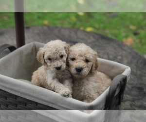 Main photo of Poodle (Standard) Dog Breeder near CITRUS HEIGHTS, CA, USA
