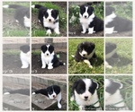 Border Collie Breeder in ATWATER, OH, USA