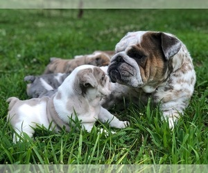 English Bulldog Dog Breeder in CLOVER,  USA