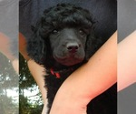 Poodle (Standard) Breeder in HOUGHTON, NY