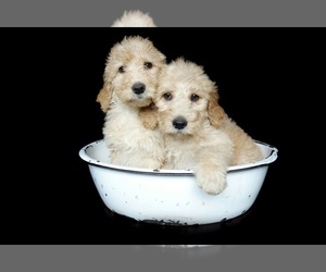 Goldendoodle Breeder in EPHRATA, PA