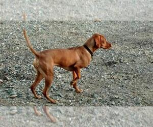 Vizsla Breeder in RED BLUFF, CA, USA
