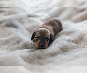 Dachshund Breeder in ENFIELD, CT