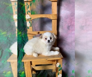 Main photo of Pom-Shi-Shiranian Mix Dog Breeder near MOUNT CLEMENS, MI, USA