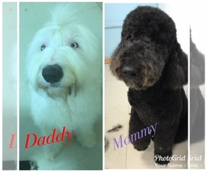 Sheepadoodle Breeder in RICHMOND, KY, USA