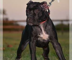 Cane Corso Dog Breeder in RICHMOND,  USA