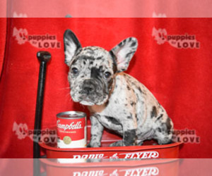 Main photo of French Bulldog Dog Breeder near SANGER, TX, USA