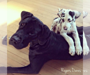 Great Dane Breeder in LAFAYETTE, IN, USA