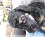 Poodle (Standard) Breeder in BILLINGS, MT, USA