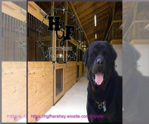 Main photo of Rottweiler Dog Breeder near HERSHEY, PA, USA
