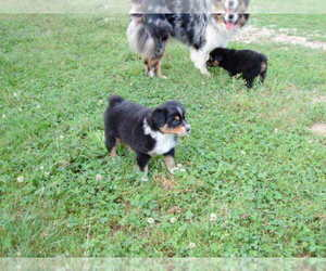 Main photo of Australian Shepherd Dog Breeder near TUNAS, MO, USA