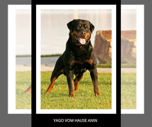 Main photo of Rottweiler Dog Breeder near N HIGHLANDS, CA, USA