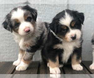 Main photo of Australian Shepherd Dog Breeder near GEORGETOWN, TX, USA