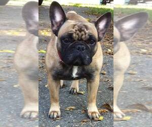 French Bulldog Breeder in BEL ALTON, MD