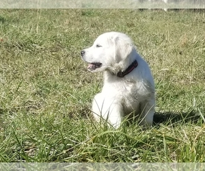 English Cream Golden Retriever Dog Breeder in HARRODSBURG,  USA