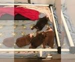 English Bulldogge Breeder in CUMMING, GA