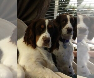 English Springer Spaniel Dog Breeder near CALHAN, CO, USA