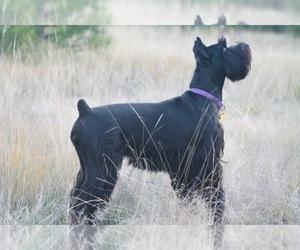 Schnauzer (Standard) Breeder in LOLO, MT