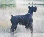Schnauzer (Standard) Breeder in LOLO, MT, USA