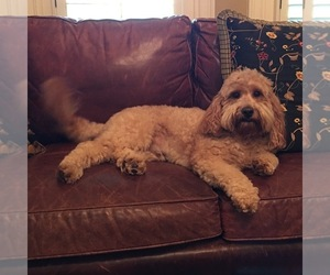 Goldendoodle Breeder in BLAKELY, GA, USA