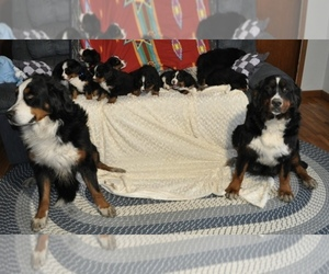 Bernese Mountain Dog Breeder in ATWOOD, IL, USA
