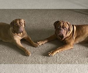 Main photo of Dogue de Bordeaux Dog Breeder near LAGRANGE, IN, USA