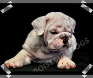 Main photo of Bulldog Dog Breeder near BOISE, ID, USA
