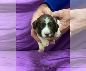 English Springer Spaniel Dog Breeder in MANCHESTER,  USA