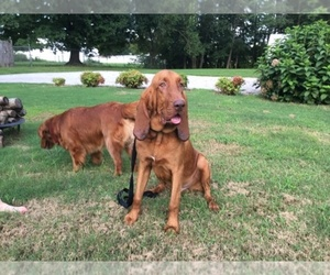 Main photo of Bloodhound Dog Breeder near OLMSTEAD, KY, USA
