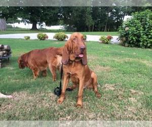 Bloodhound Dog Breeder near OLMSTEAD, KY, USA